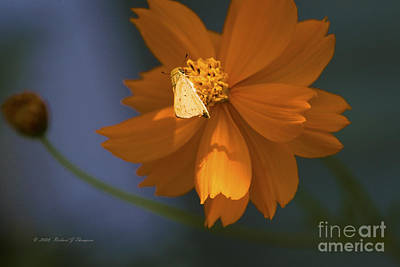 Photograph - Coreopsis by Richard J Thompson