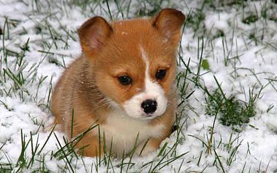 Snow Puppy Mixed Media - Corgi Puppy  by Marvin Blaine