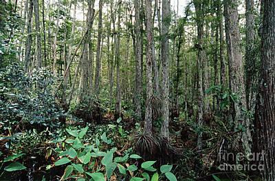 Corkscrew Swamp Print by Gregory G. Dimijian
