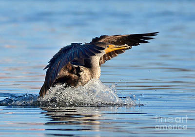 Photograph - Cormorant In For A Landing by Kathy Baccari