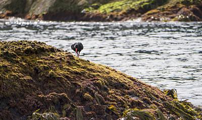 Photograph - Cormorant - Montague Island - Australia by Steven Ralser