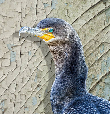 Double-crested Cormorant Photograph - Cormorant By Cracked Paint by Bill Tiepelman