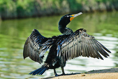 Photograph - Cormorant Drying Wings by Bob and Nadine Johnston