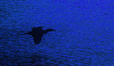 Photograph - Cormorant In Flight by Jim Vance