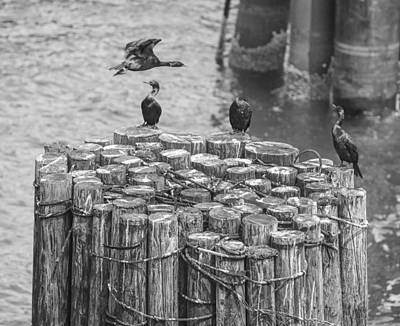 Water Foul Photograph - Cormorant Landing Black And White by Scott Campbell