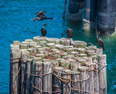 Water Foul Photograph - Cormorant Landing by Scott Campbell
