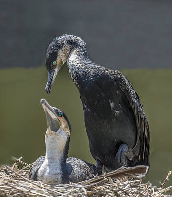 Photograph - Cormorant Pair Looking At Each Other Lovingly by William Bitman