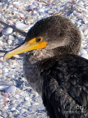Photograph - Cormorant by Patricia Januszkiewicz