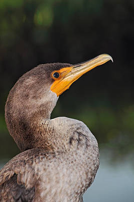 Photograph - Cormorant Profile by Theo OConnor