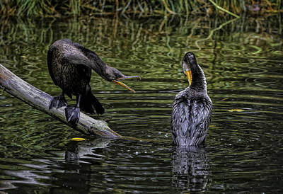 Photograph - Cormorant Squabble by Donald Brown