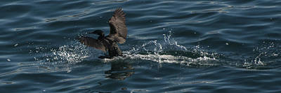 Photograph - Cormorant Takeoff by Lee Kirchhevel