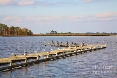 Cormorants And Seagulls On Old Dock Near Blackwater  National Wildlife Refuge Near Cambridge Md Art Print