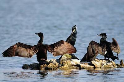 Cormorant Photograph - Cormorants Drying Their Wings by Colin Varndell