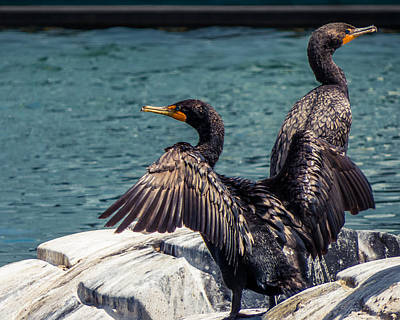 Photograph - Cormorants by Tom Gort