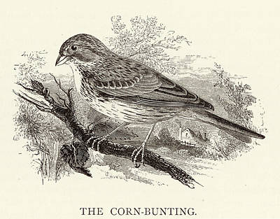 Bunting Drawing - Corn Bunting (emberiza Miliaria) by Mary Evans Picture Library