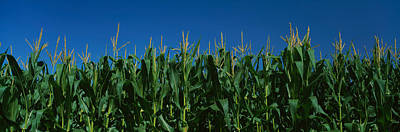 Corn Crop In A Field, New York State Art Print