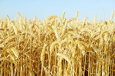 Food And Beverage Royalty-Free and Rights-Managed Images - Corn Field by Chevy Fleet