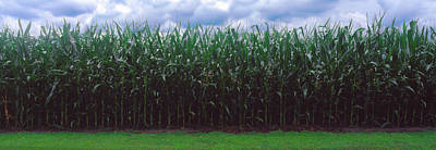 Cole Photograph - Corn Field, Coles, Philo, Urbana by Panoramic Images