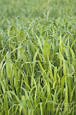 Mais Photograph - Corn Field by Dan Radi