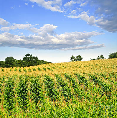 Landscapes Royalty-Free and Rights-Managed Images - Corn field 1 by Elena Elisseeva