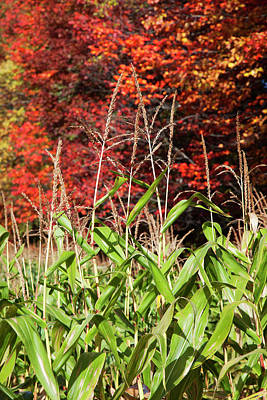 Corn Growing In A Field And Autumn Art Print