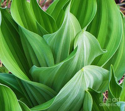 Photograph - Corn Lily by Michele Penner