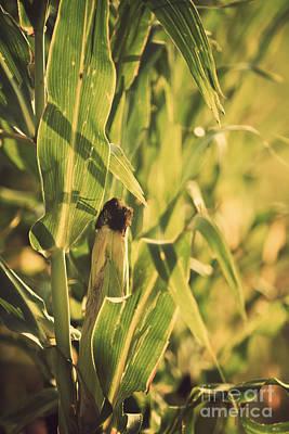 Mais Photograph - Corn Maize Zea Mays by Dan Radi