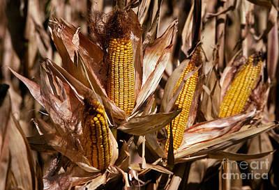 Illinois Farm Land Photograph - Corn by Ron Sanford