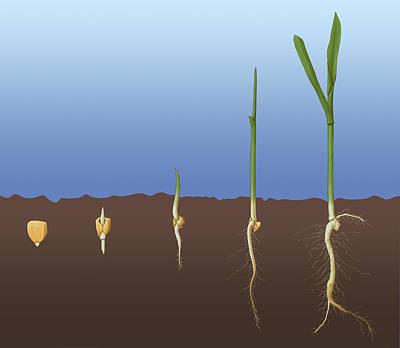 Photograph - Corn Seed Germination, Illustration by Monica Schroeder