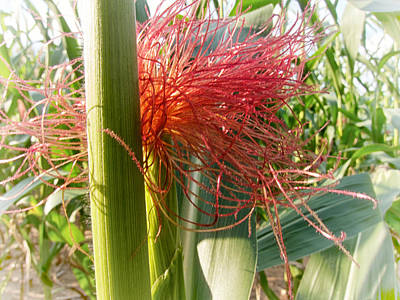 Photograph - Corn Silk by Mary Lee Dereske