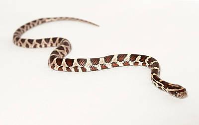 Photograph - Corn Snake by Les Stocker