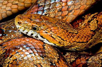 Photograph - Corn Snake by Millard H Sharp