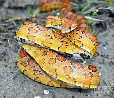 Corn Snake Photograph - Corn Snake Or Red Rat Snake by John Serrao