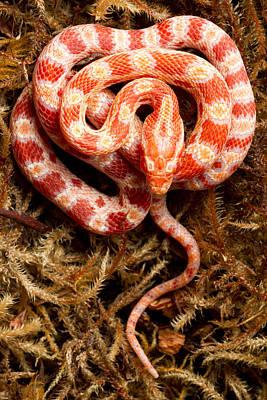 Corn Snake Photograph - Corn Snake Pantherophis Guttatus On Moss by David Kenny