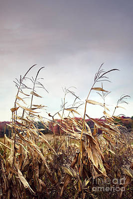 Photograph - Corn Stalks Blowing In The Wind by Sandra Cunningham