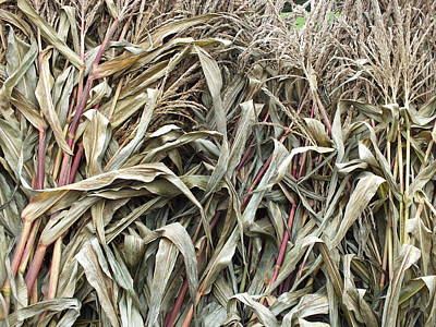 Photograph - Corn Stocks by Gene Cyr