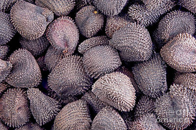 Agrostemma Githago Wall Art - Photograph - Corncockle Seeds by M. I. Walker