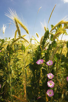 Cornfield With Beautiful Flowers In Summer Print by Matthias Hauser