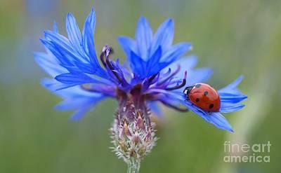 Art Print featuring the photograph Cornflower Ladybug Siebenpunkt Blue Red Flower by Paul Fearn