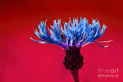 Cornflower Photograph - Cornflower by Lutz Baar
