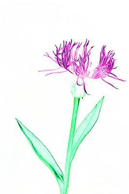 Photograph - Cornflower No.3 by Tony Mills