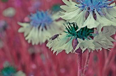 Photograph - Cornflower With Lilac Fly by Marianna Mills
