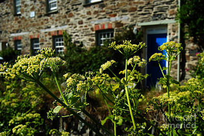 Cow Parsley Wall Art - Photograph - Cornish Cow Parsley  by Rob Hawkins