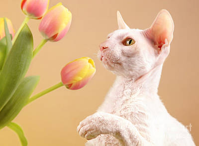Cornish Rex Cat Art Print by Verena Matthew