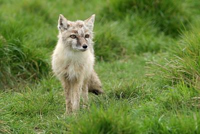 Corsac Or Steppe Fox Art Print by Nigel Downer