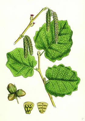 Botanica Drawing - Corylus Avellana Hazel by English School