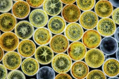 Coscinodiscus Sp. Marine Diatom Art Print