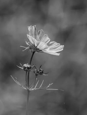 Art Print featuring the photograph Cosmo Flower Reaching For The Sun by Debbie Green
