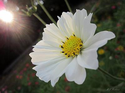 Photograph - Cosmos At Sunset by MTBobbins Photography