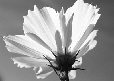 Art Print featuring the photograph Cosmos Bw2 by Gerry Bates